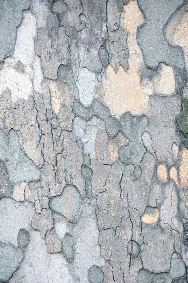 Fundo textured de madeira do sicômoro fotos de stock