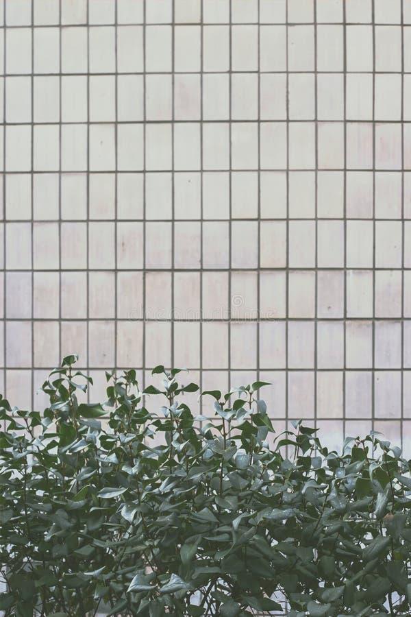 Fundo Tranquil Dawn com folhas verdes perto da parede imagem de stock