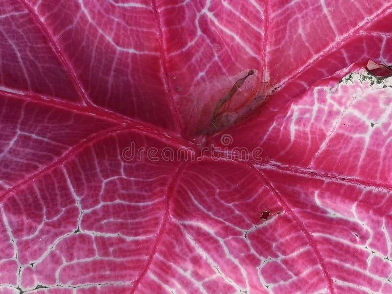 Fundo tropical cor-de-rosa da folha imagens de stock