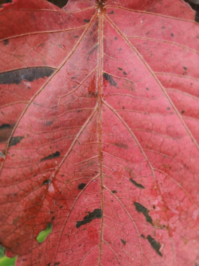 Fundo tropical cor-de-rosa da folha foto de stock royalty free