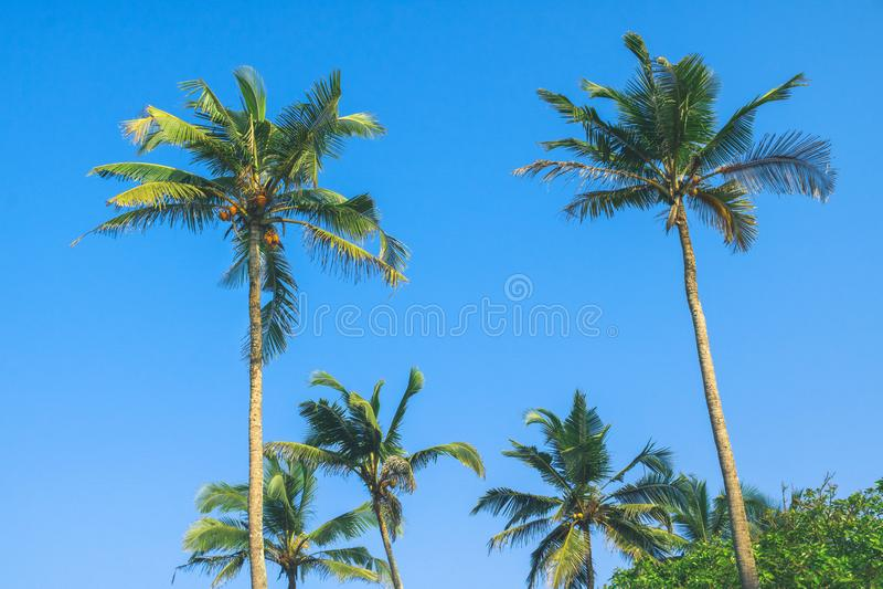 Fundo tropical da palmeira do coco fotografia de stock royalty free