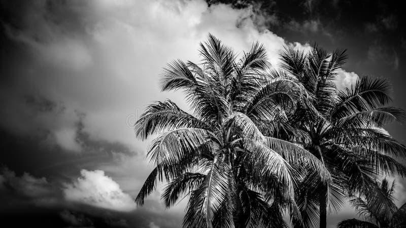 Fundo tropical preto e branco Palmeiras e céu nebuloso imagem de stock