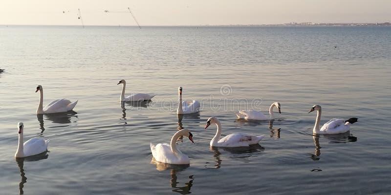 Fundo Um rebanho das cisnes reais que descansam na superfície calma do mar fotos de stock