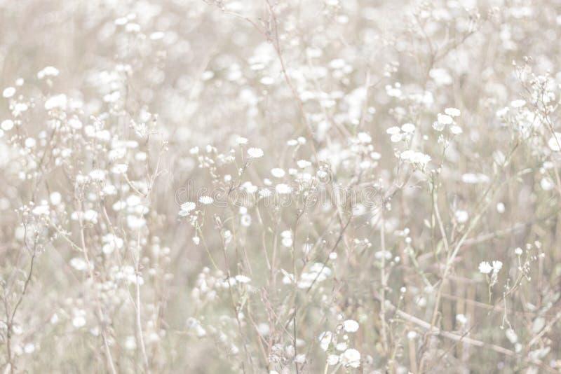 Fundo Unfocused da flor do borrão Backdrope floral Campo bonito da camomila no dia do sol muted fotografia de stock royalty free