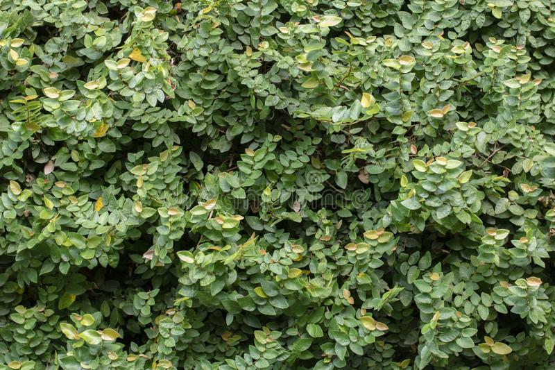 Fundo verde abstrato das folhas em uma parede fotos de stock