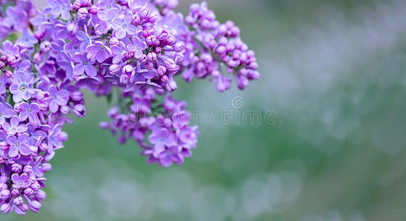 Fundo verde borrado sumário do bokeh e ramo de florescência do lilás ou do syringa na primavera imagens de stock royalty free