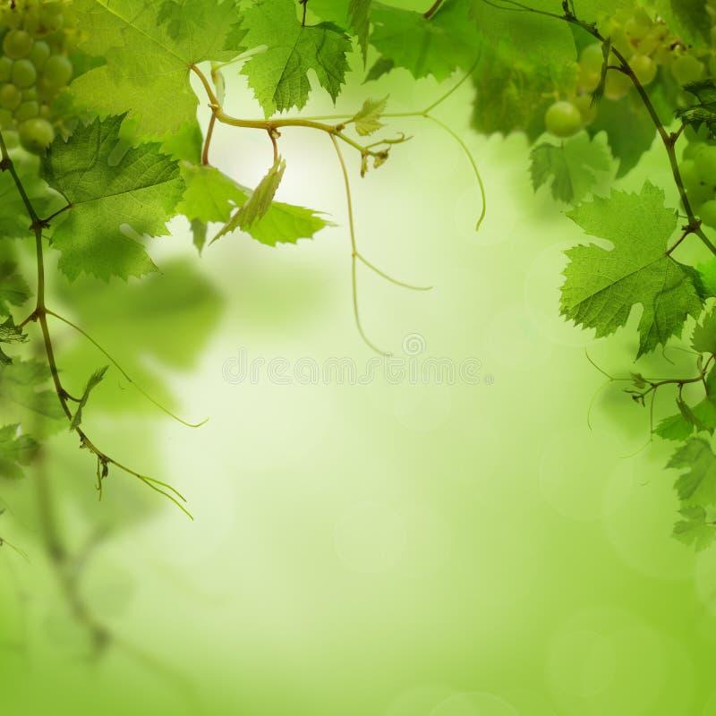 Fundo verde com uva fotos de stock