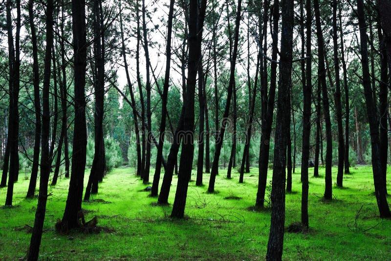 Fundo verde da árvore de pinho foto de stock royalty free