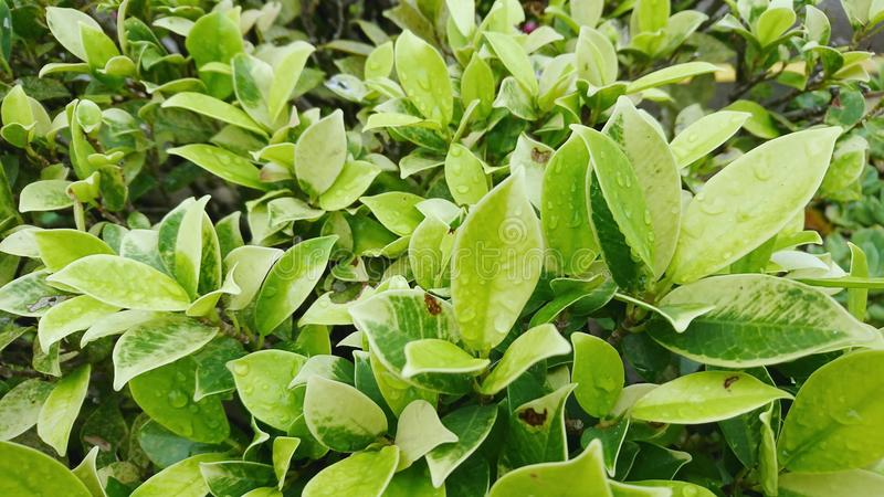 Fundo verde da folha com waterdrop foto de stock