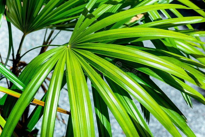 Fundo verde da folha da natureza da palma de senhora no jardim imagem de stock