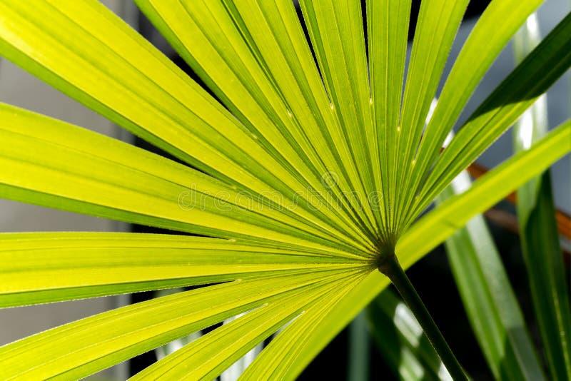 Fundo verde da folha da natureza da palma de senhora no jardim imagem de stock royalty free