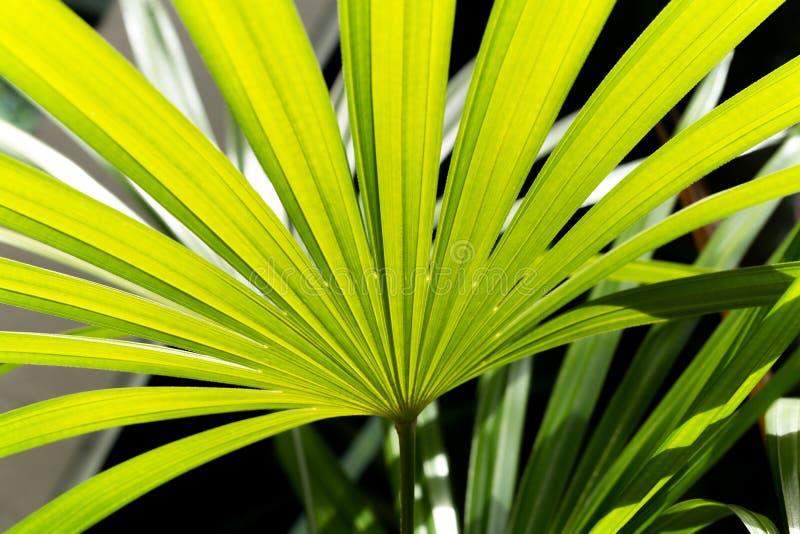 Fundo verde da folha da natureza da palma de senhora no jardim foto de stock royalty free
