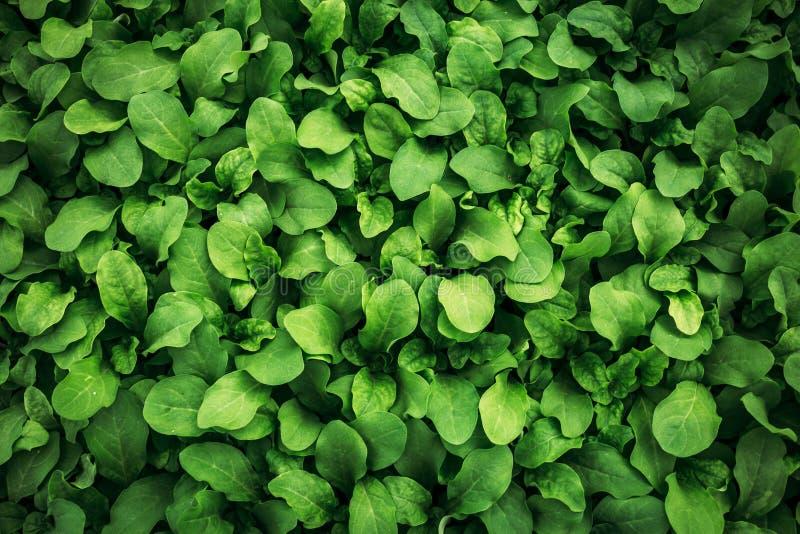 Fundo verde da folha O petúnia branco sae da textura, foto macro, fim acima, vista superior Papel de parede verde abstrato da nat fotografia de stock