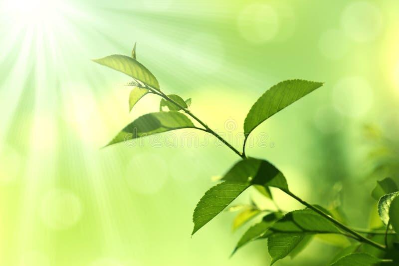 Fundo verde de Leaves.Nature foto de stock royalty free