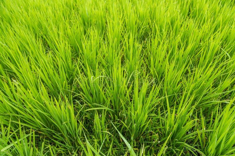 Fundo verde do close up do campo do arroz no campo da agricultura imagem de stock royalty free