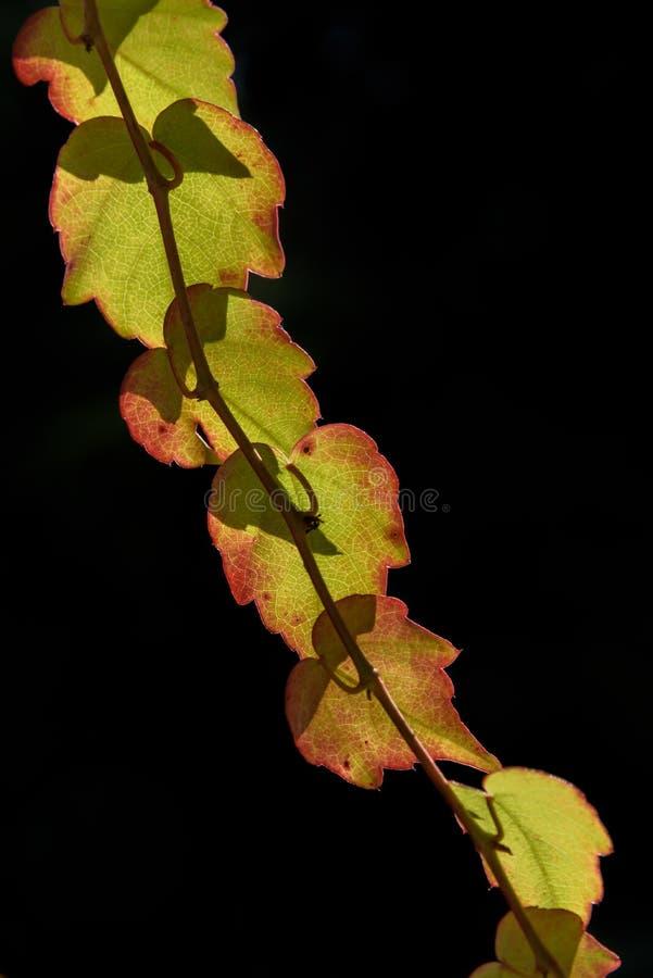 Fundo verde e vermelho do preto dos agains das folhas de outono fotos de stock royalty free