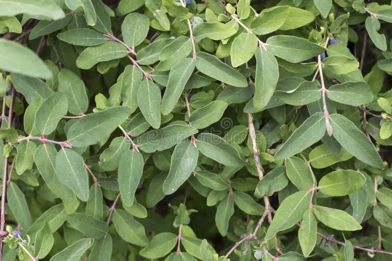 Fundo verde Folhas verdes suculentas frescas da planta Close-up pequeno de muitas folhas imagem de stock