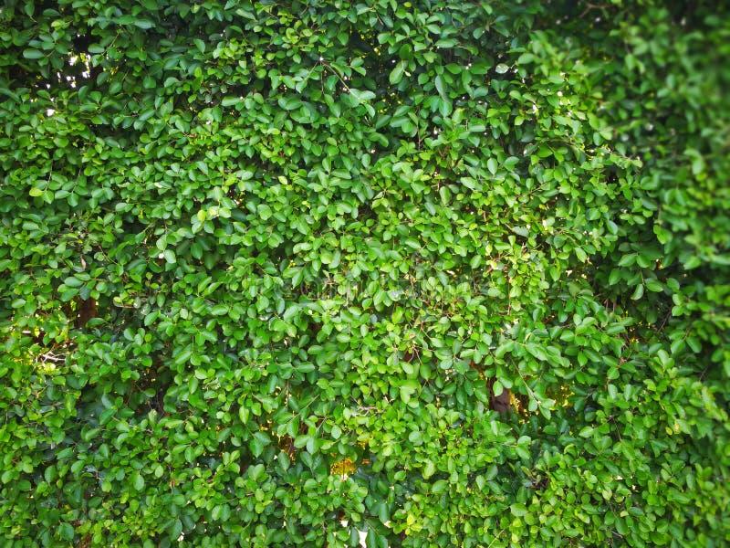Fundo verde fresco da parede da folha fotos de stock royalty free