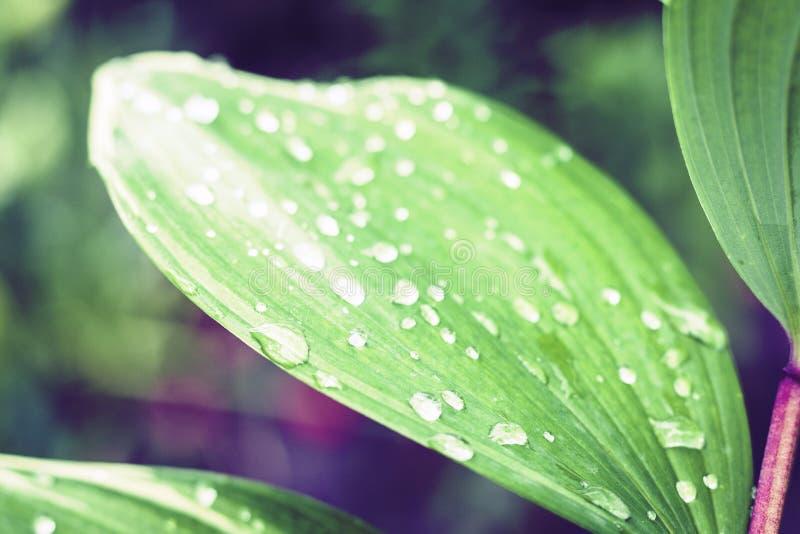 Fundo verde no dia chuvoso, plantas da textura das folhas em um jardim com pingos de chuva imagem de stock