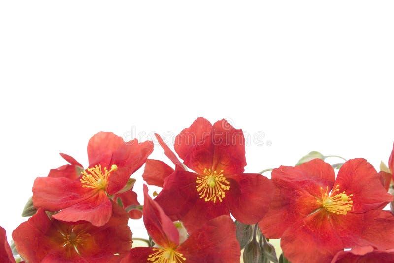 Download Fundo vermelho 1 da flor foto de stock. Imagem de pólen - 125210