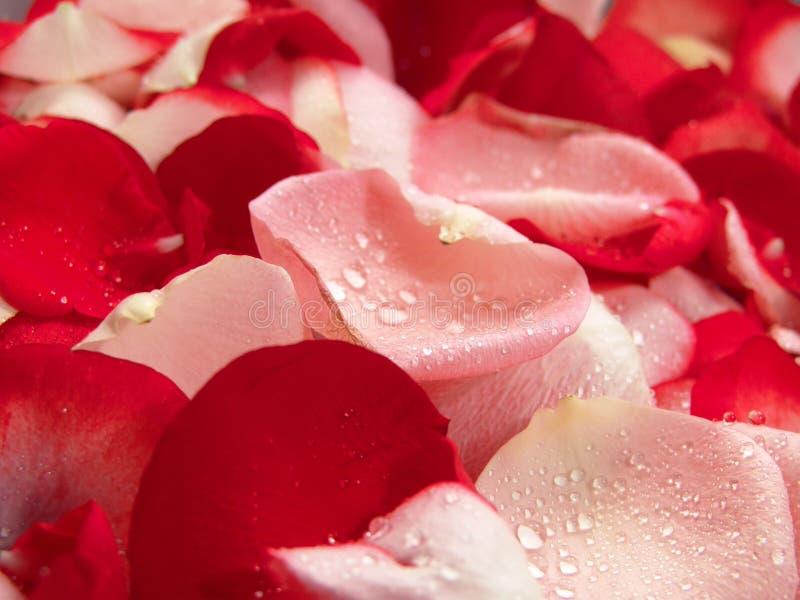 Fundo vermelho bonito da pétala de rosas foto de stock