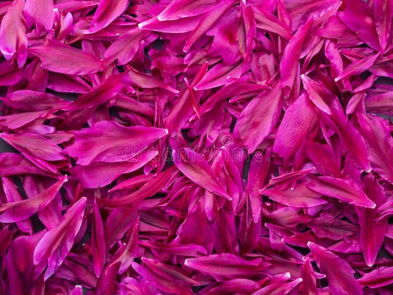 Fundo vermelho cor-de-rosa escuro da textura das pétalas do paeony da peônia ou do bobo da corte da cor do pavão foto de stock royalty free