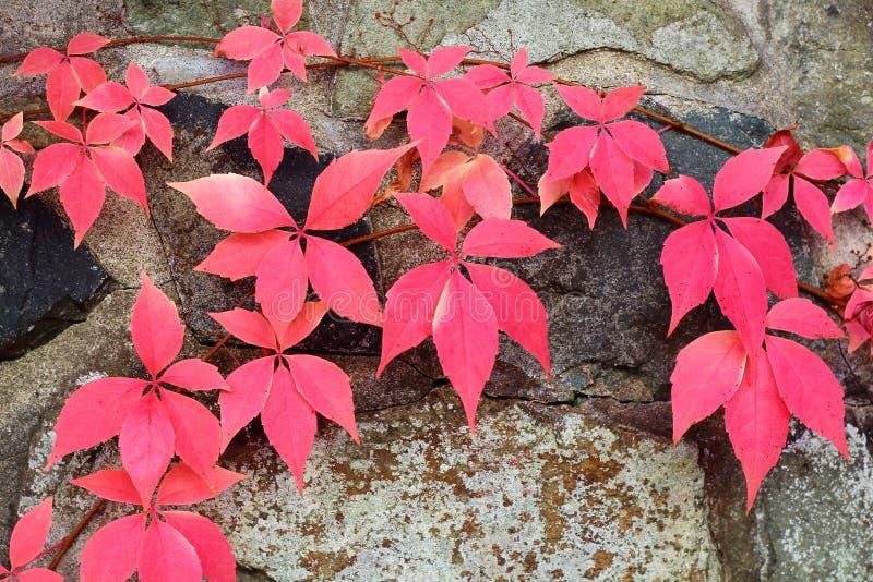 Fundo vermelho da folha do outono imagens de stock