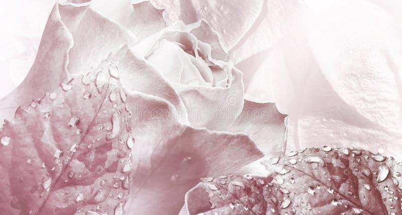Fundo vermelho da luz floral da aquarela Rosa floresce o close-up fotografia de stock royalty free