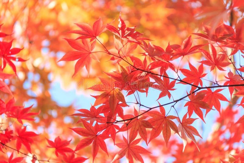 Fundo vermelho das folhas de bordo do outono imagens de stock