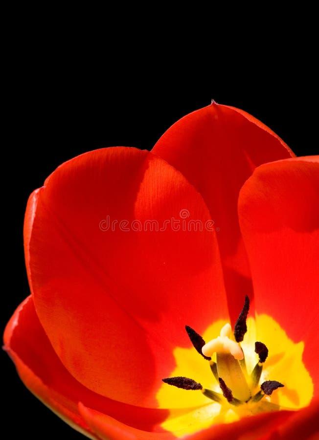 Fundo vermelho do preto do tulip fotografia de stock royalty free