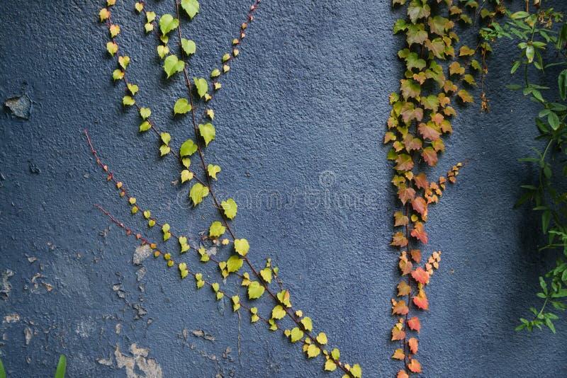 Fundo vermelho e verde da textura das folhas Folhas de outono na parede azul imagem de stock royalty free
