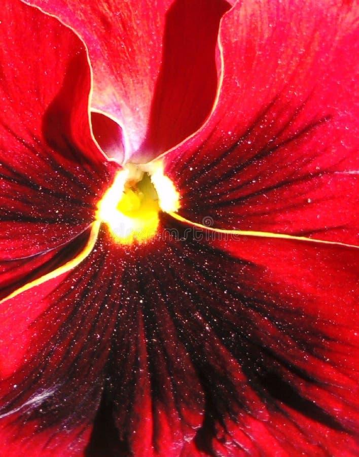 Fundo vermelho impetuoso da flor da viola do sumário fotografia de stock