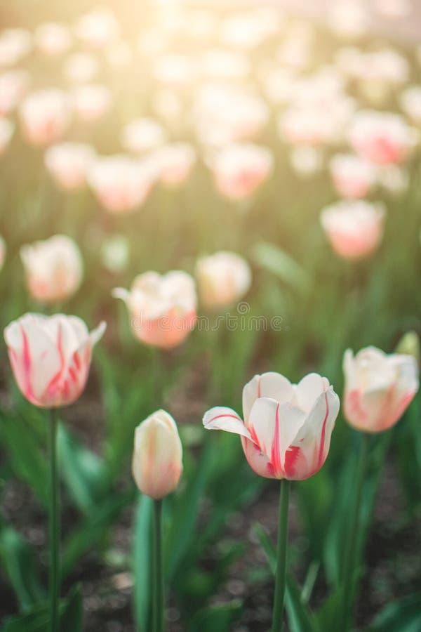 Fundo vertical das tulipas claras delicadas Tulipas cor-de-rosa no jardim, arboreto com luz solar Bandeira vertical da flor fotografia de stock
