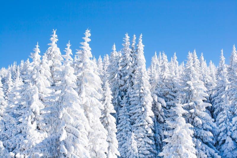 Fundo vibrante das férias do inverno com os pinheiros cobertos por nevadas fortes imagens de stock