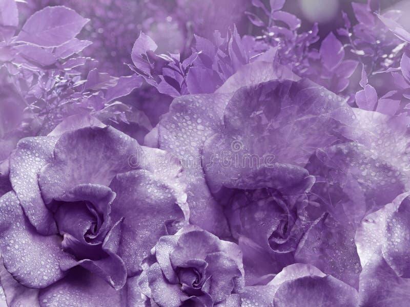 Fundo violeta floral das rosas Composição da flor Flores com gotas de água nas pétalas Close-up imagens de stock royalty free