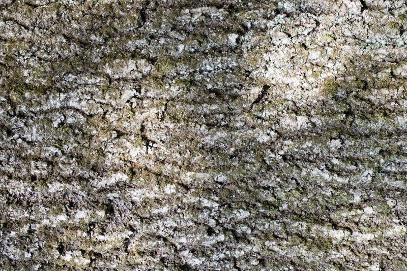 Fundos abstratos: casca de uma cinza-árvore velha com musgo e líquene foto de stock royalty free