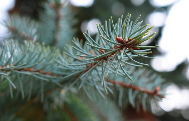 Fundos da agulha do ramo do verde do pinheiro imagem de stock