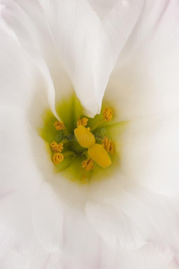 Fundos da flor do Eustoma fotografia de stock royalty free