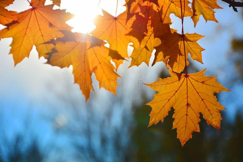 Fundos das folhas de outono fotografia de stock royalty free
