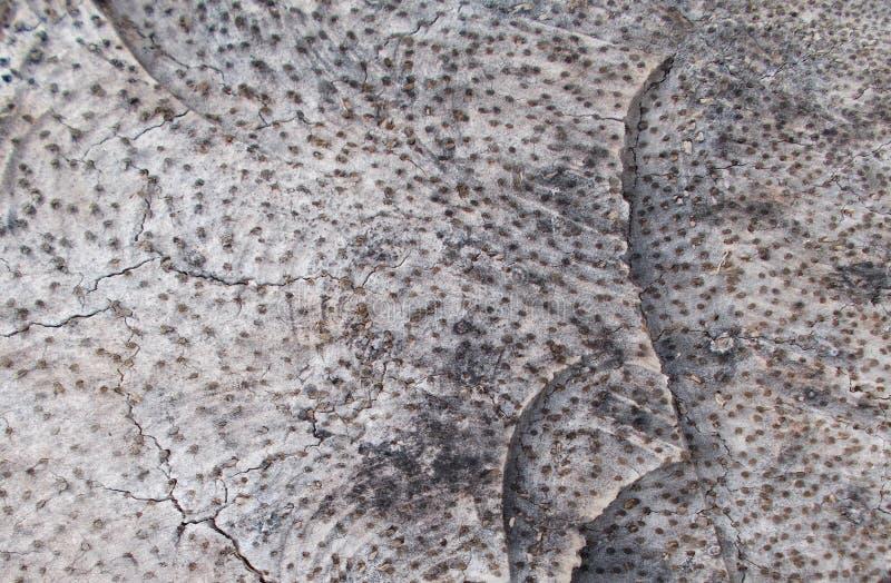 Fundos de corte de madeira do tronco do coco do close up, textura de madeira cortada natural do coto e testes padrões da madeira foto de stock royalty free