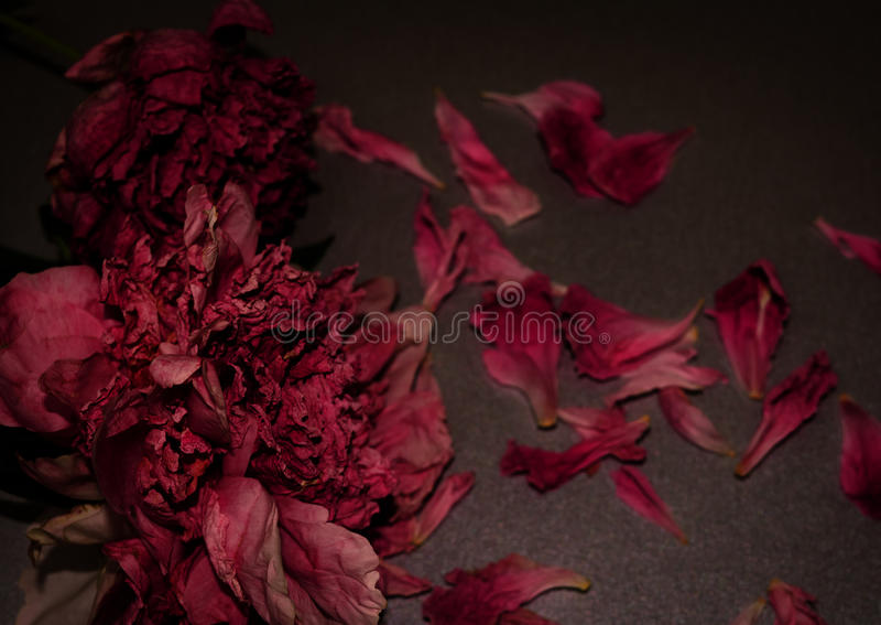 Funeral flowers. Two withered peony. Dark floral composition. royalty free stock image