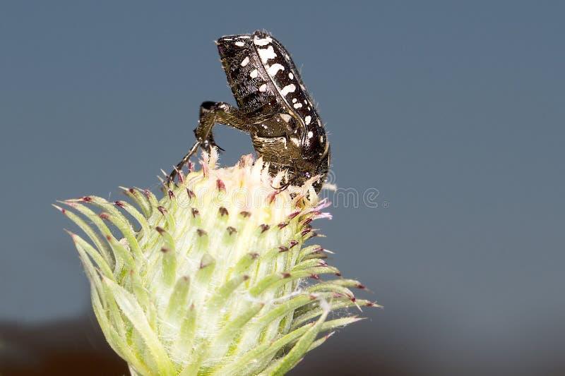 Funesta de Oxythyrea/escarabajo de Rose Blanco-manchado fotos de archivo libres de regalías