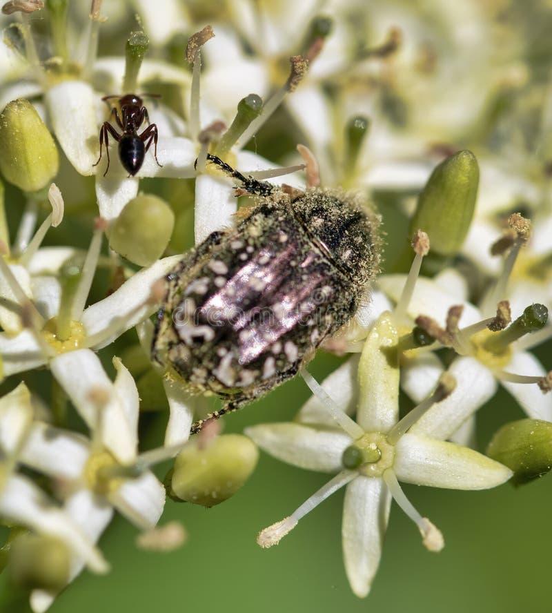 Funesta di Oxythyrea in un prato fotografie stock