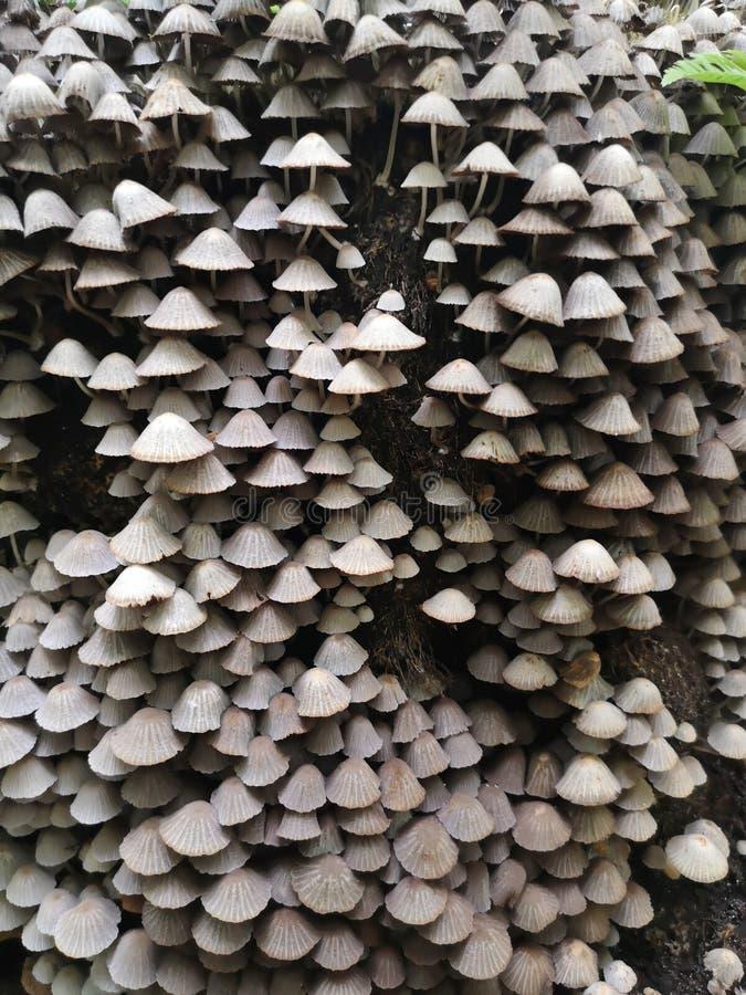Fung di disseminatus di Coprinellus Mushroomsi leggiadramente del cofano immagini stock