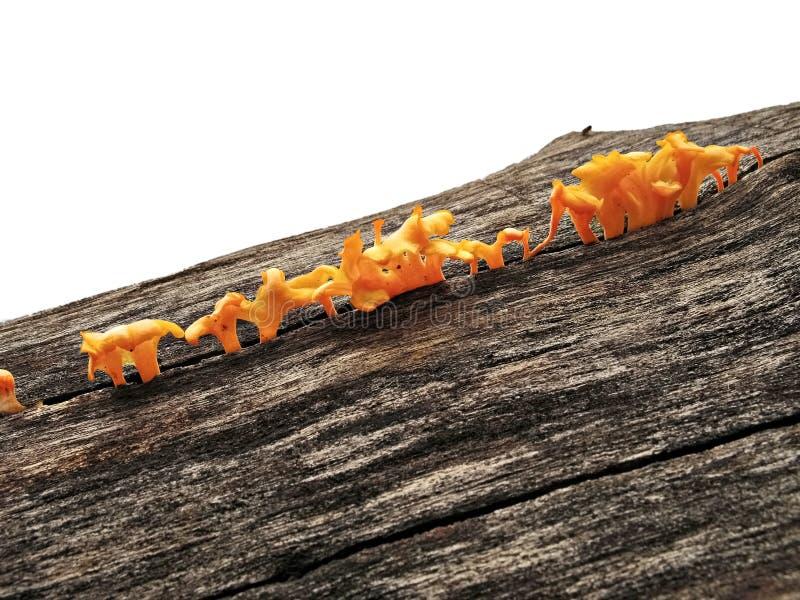 Funghi arancio sul ceppo di legno immagine stock