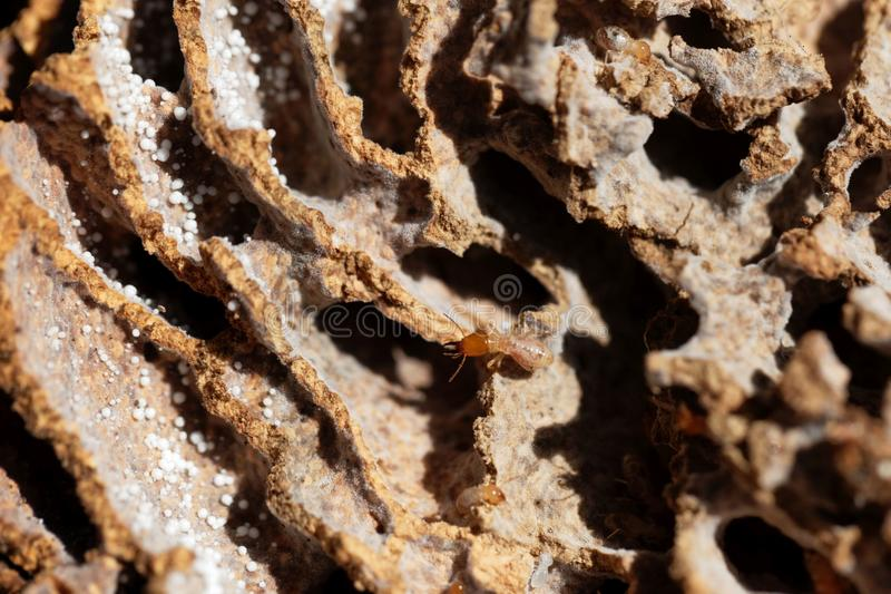 Funghi che crescente termite in tunnel del nido immagine stock libera da diritti