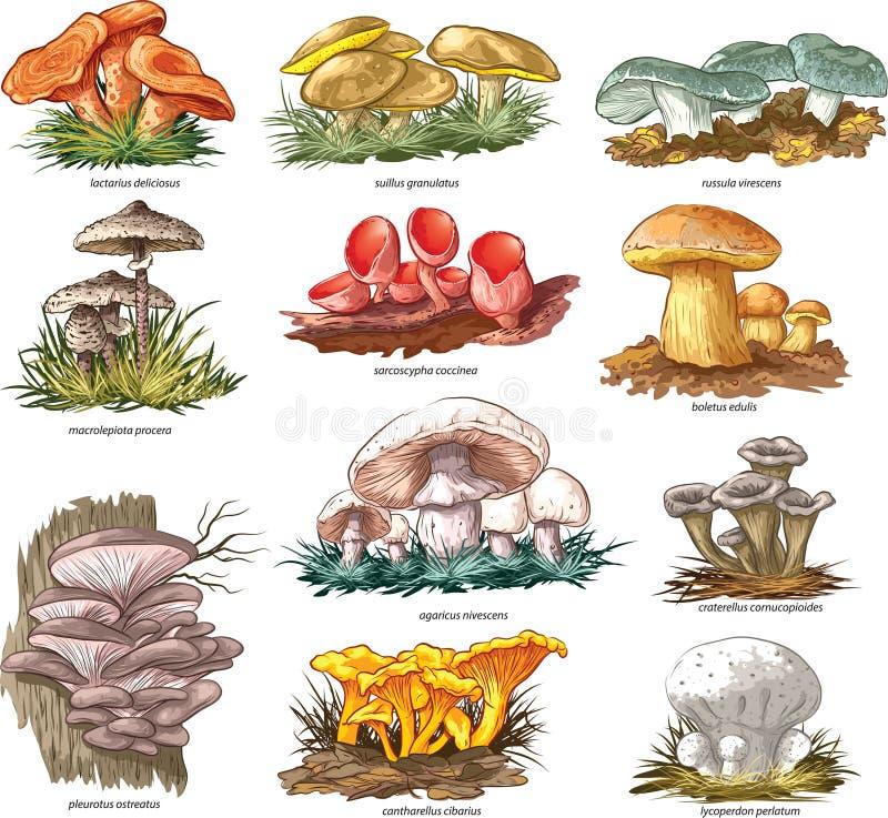 Funghi commestibili illustrazione vettoriale