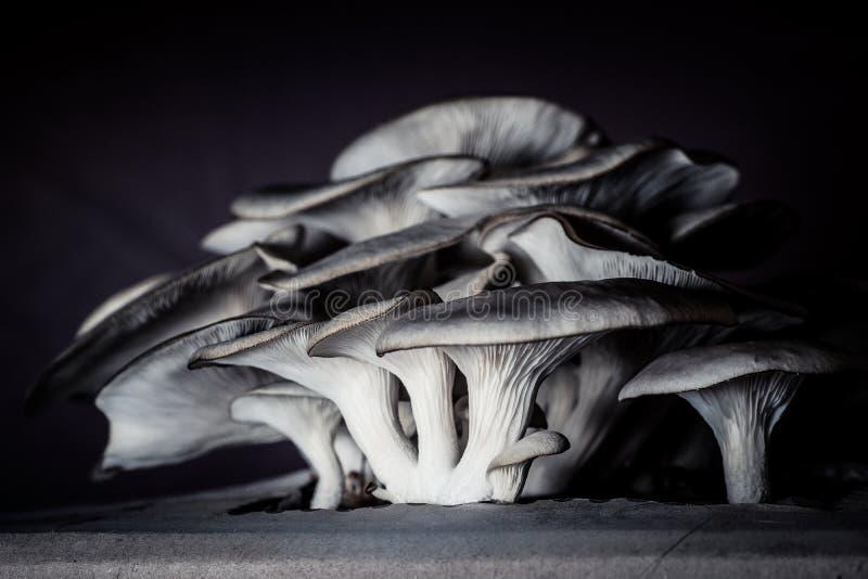 Funghi commestibili coltivati a casa fotografia stock