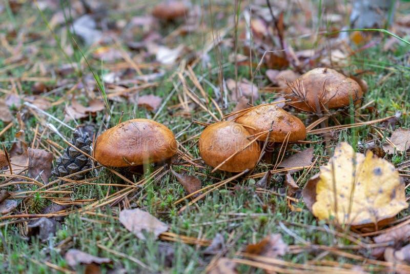 Funghi del burro che crescono nella foresta di autunno fra le foglie e l'erba Il luteus di suillus o i funghi commestibili sdrucc fotografia stock