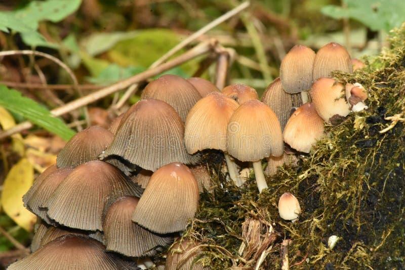 funghi del cappuccio del cofano del Quercia-ceppo del terreno boscoso deciduo fotografia stock libera da diritti